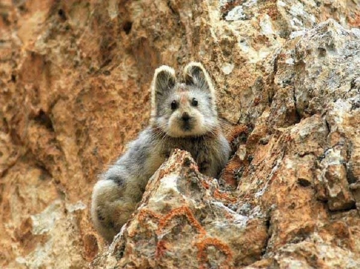 This is the barely-seen ili pika, a shy mountain animal from China, who was recently spotted for the first time in 20 years.