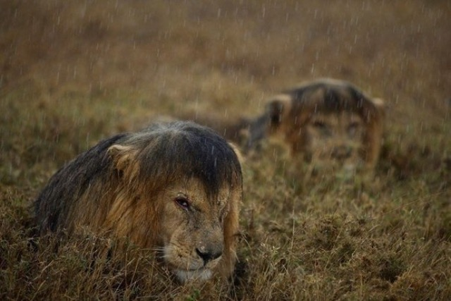 Lions in the rain.