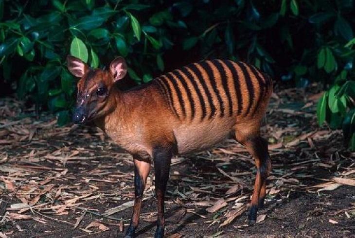 Zebra Dukier