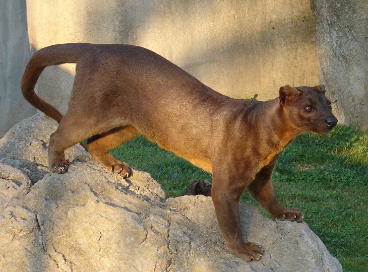 Fossa. This cat-like carnivorous mammal is from Madagascar.