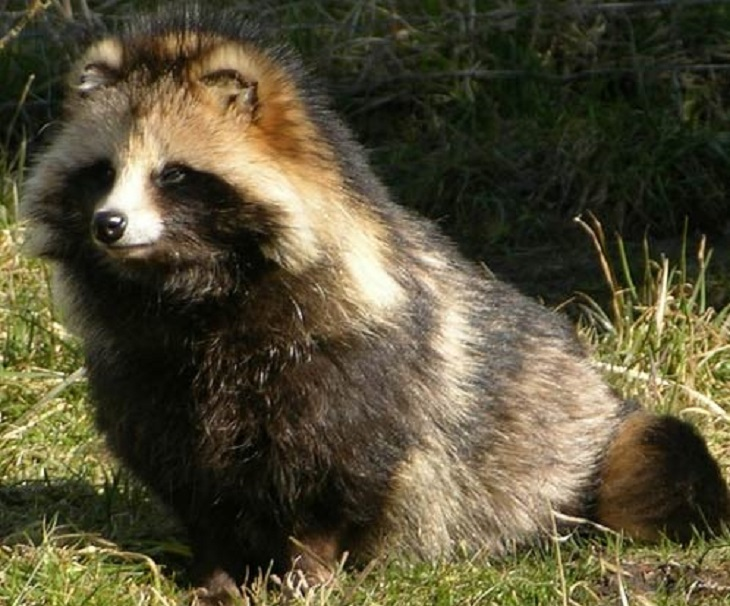 The racoon dog from East Asia is named after its resemblance to the racoon, but they are not related. They are very good climbers and often climb trees.