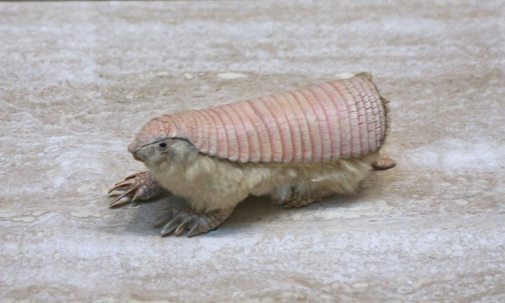 The pink fairy armadillo is just 3.5-4.5 inches in length (excluding the tail)