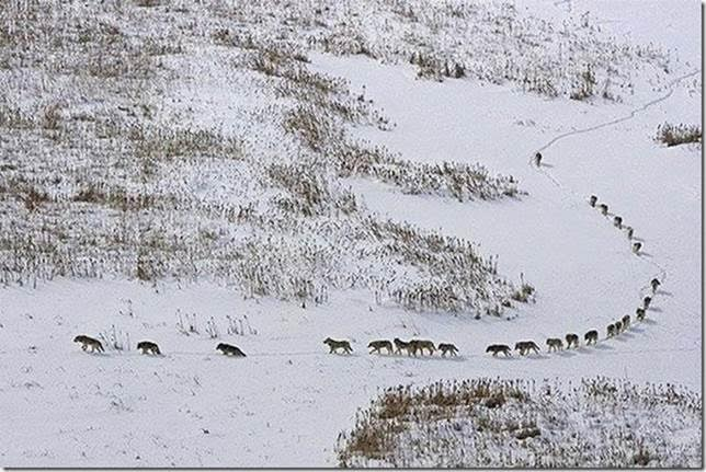 "A wolf pack: the first 3 are the old or sick, they give the pace to the entire pack. If it was the other way round, they would be left behind, losing contact with the pack. In case of an ambush they would be sacrificed. Then come 5 strong ones, the front line. In the center are the rest of the pack members, then the 5 strongest following. Last is alone, the alpha. He controls everything from the rear. In that position he can see everything, decide the direction. He sees all of the pack. The pack moves according to the elders pace and help each other, watch each other."" This remarkable image was captured by Cesare Brai."